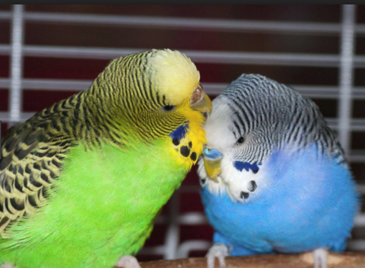budgie2.png