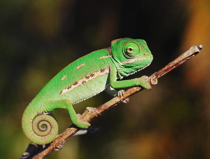 chameleon.png